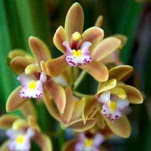 Miniature Cymbidium Orchids