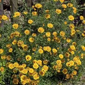 Golden Marguerite