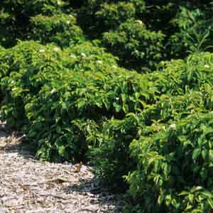 Red Twig Dogwood, Red Osier Dogwood