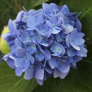 Hardy Hydrangea, Bigleaf Hydrangea
