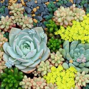 Succulents - Perennial