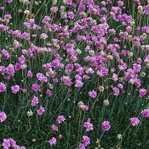 Armeria, Sea Thrift