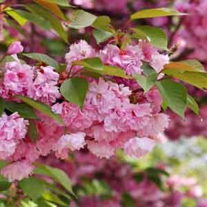 Ornamental Flowering Cherry, Japanese Flowering Cherry