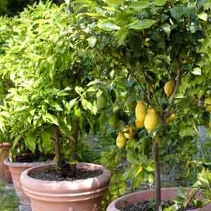 Patio Lemon Tree