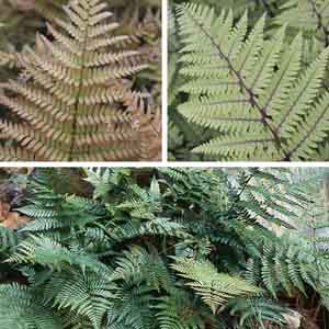 Wood Fern, Autumn Fern