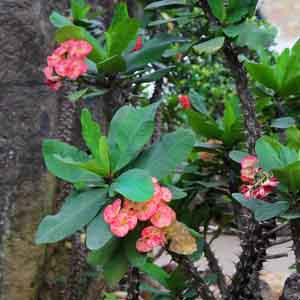 Crown of Thorns, Euphorbia