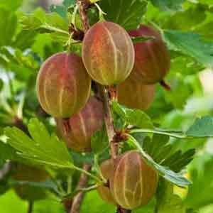 American Gooseberry