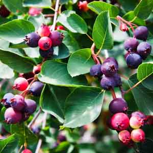 Saskatoon Serviceberry, Juneberry