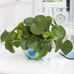 Chinese Money Plant, Pancake Plant, Missionary Plant