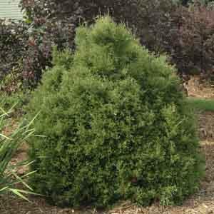 Dwarf Arborvitae