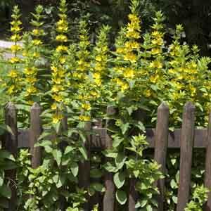 Garden Loosestrife, Whorled Loostrife
