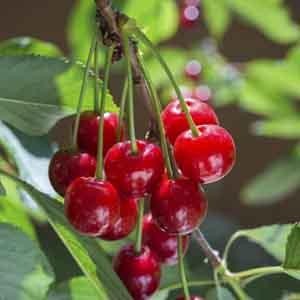 Sour Cherry, Tart Cherry