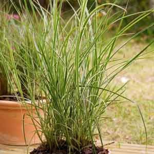Variegated Feather Reed Grass