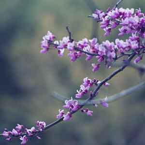 Weeping Eastern Redbud