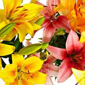 Asiflorum Lily