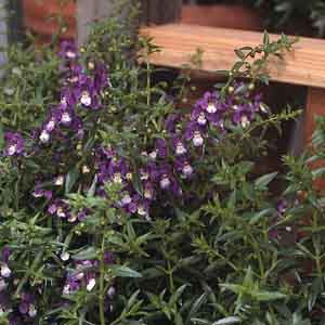 Trailing Angelonia