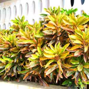 Croton Outdoors