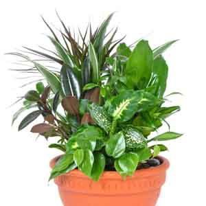 Mixed Foliage Planter Indoors