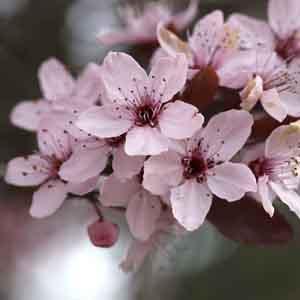 Cherry Plum, Purple Leaf Plum