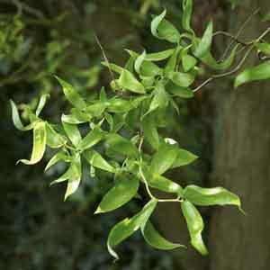Corkscrew Willow