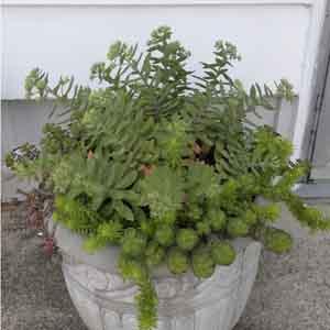 Stonecrop Combination Planter