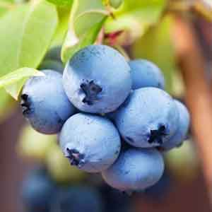 Southern Highbush Blueberry