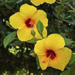 Hawaiian Hibiscus, Hawaiian Hibiscus