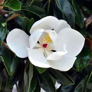 Dwarf Southern Magnolia, Evergreen Magnolia, Big Bay