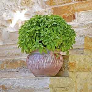Sweet Bush Basil