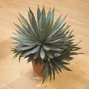 Agave Indoors