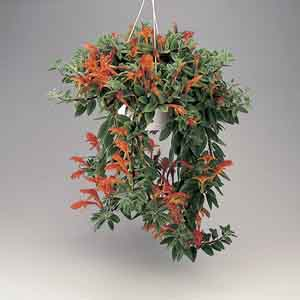 Goldfish Plant, Dancing Dolphins Indoors