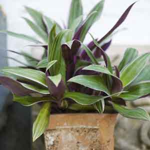 Oyster Plant, Moses-In-The-Cradle Indoors