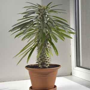 Madagascar Palm Indoors