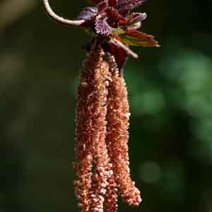 Red-leaved Contorted Filbert