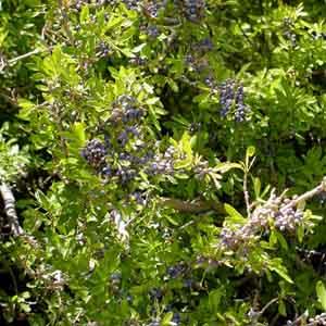 New Mexico Privet, Desert Olive
