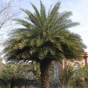 Sylvester Palm, Silver Date Palm