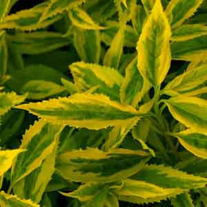 Greenstem Forsythia