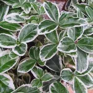 Japanese Euonymus