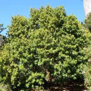 Henkel's Long-leafed Yellowwood