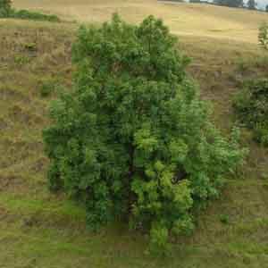 Evergreen Ash, Shamel Ash