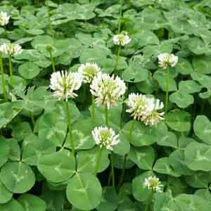 White Clover, Dutch Clover