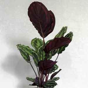 Prayer Plant, Rose-Painted Calathea
