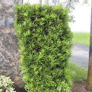 Yew Pine, Japanese Yew