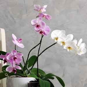 Orchid, Moth Orchid (Phalaenopsis species)