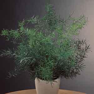 Asparagus Fern Indoors