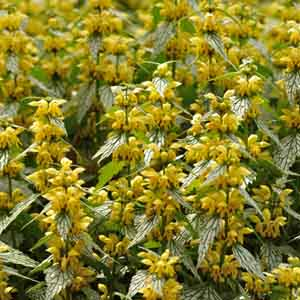 Lamiastrum, Yellow Archangel
