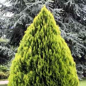 Chinese Arborvitae