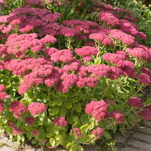 Upright Sedum