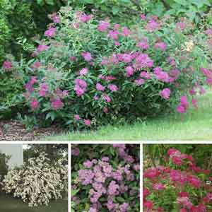 Green Leaf Spirea