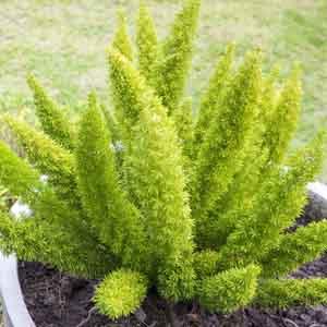 Foxtail Fern, Asparagus Fern